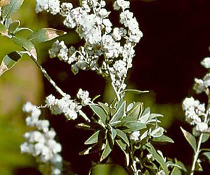 Camphor White - Cinnamomum camphora