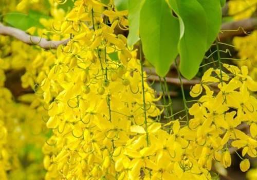 Cassia  - Cinnamomum cassia