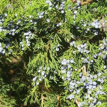 Cedarwood, Virginia - Juniperous virginiana