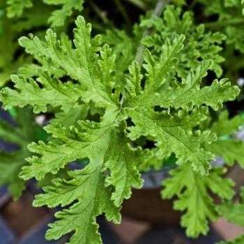 Citronella, Java - Cymbopogon winterianus