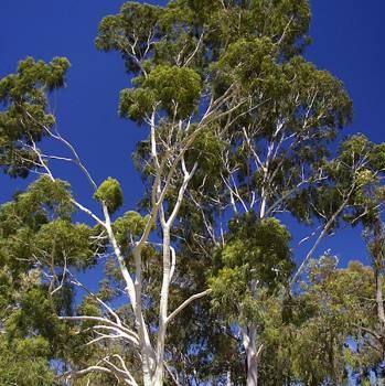 Eucalyptus Citriodora - Eucalyptus citriodora